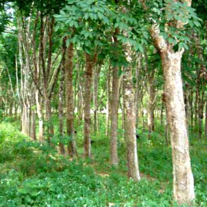 Rubberwood Trees